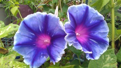 Ipomoea nil Emma's Blue Purple Flame by Gerris2