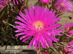 blossom(0.0), dorotheanthus bellidiformis(1.0), annual plant(1.0), flower(1.0), plant(1.0), karkalla(1.0), macro photography(1.0), wildflower(1.0), flora(1.0), close-up(1.0), ice plant(1.0), pink(1.0), petal(1.0),