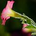 Petunia x hybrida by Hồ Viết Hùng (Thanks so much for 1mil. views!