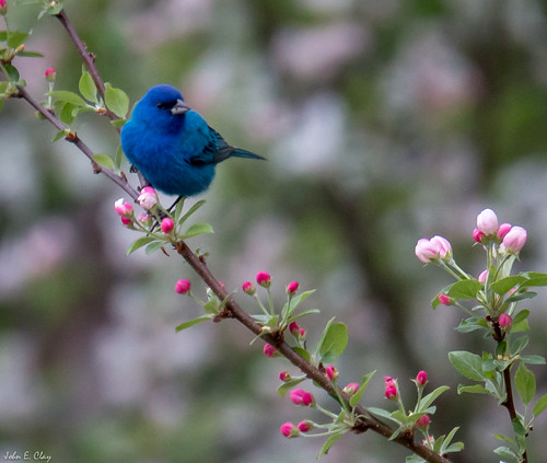 bird spring ct indigobunting jclay bentoftheriver