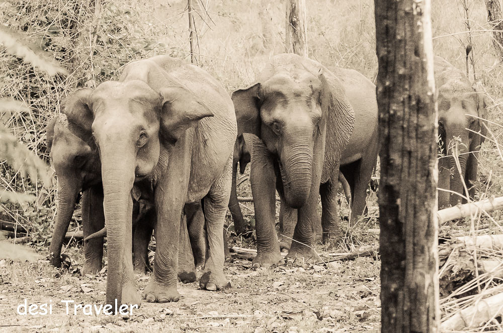 Asian elephant herd Kerala