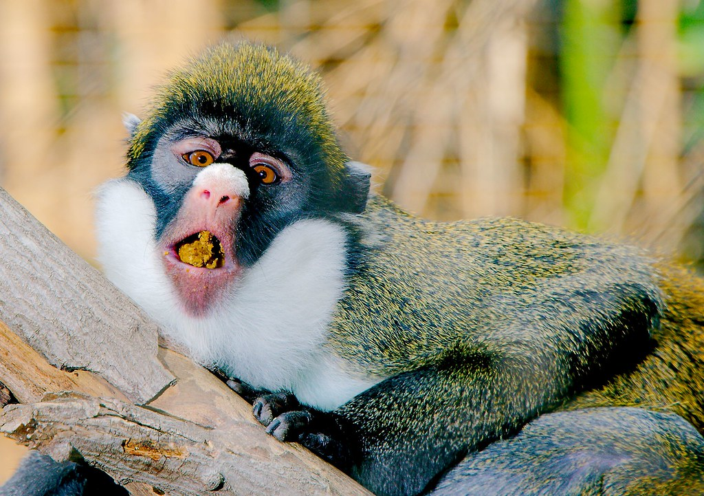 Lesser Spot Nosed Monkey (Cercopithecus petaurista)_2