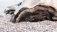 Stump and Pebbles, Park Point, Duluth