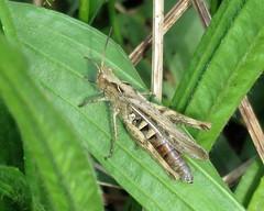 Field Grasshopper - Chorthippus brunneus
