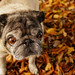 Fall is for pugs