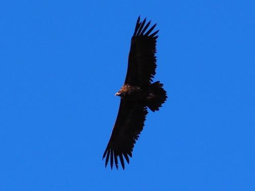 Black Vulture (Aegypius monachus)