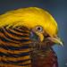 Chrysolophus pictus / Golden pheasant / Золотой фазан / Guldfasan by Svitlana Tkach