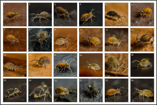 Tue, 12/06/2016 - 14:14 - Frans Janssens (FransJanssens@www.collembola.org) from collembola.org mentioned in a recent Comment that he would like to see images of all the male and female instars of this globular springtail (Katiannidae Genus nov.1 sp. nov.). It has only been recently recorded in the UK, but I'm fortunate in having a colony in our Staffordshire garden.  They are particularly plentiful at the moment, so I'm taking every opportunity to photograph them. Here's a matrix of my most recent shots. I'll try to update the list below, but here's my initial thoughts on this batch:  1. Adult male 2. Adult male 3. Adult male 4. Adult male 5. Adult male [reproductive instar] 6. Adult male 7. Adult male 8. Adult female - feeding instar 9. Juvenile feeding instar 10. [Juvenile male] 11. [Juvenile male] 12. Adult male 13. Juvenile feeding instar 14. Adult male 15. Adult male 16. [Juvenile]feeding instar 17. Adult female - feeding instar 18.  19. Adult female - feeding instar 20. Adult female - feeding instar 21. Adult male 22. [Adult instar old female] 23. Adult male 24. [Juvenile]  Data in [brackets] courtesy FransJanssens@www.collembola.org  - thanks Frans!  Canon MP-E65mm Macro (at 5x) + 1.4x tele-extender + 25mm extension tube + diffused MT24-EX Twinlite flash. Heavily cropped. All springtails in the range ~0.5 mm - just over 1 mm.