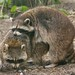Small photo of Raccoon Wrestling (procyon lotor), Amazona Zoo