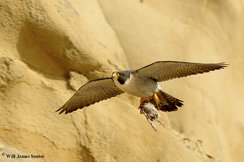 Peregrine Falcon Tiercel captures prey bird