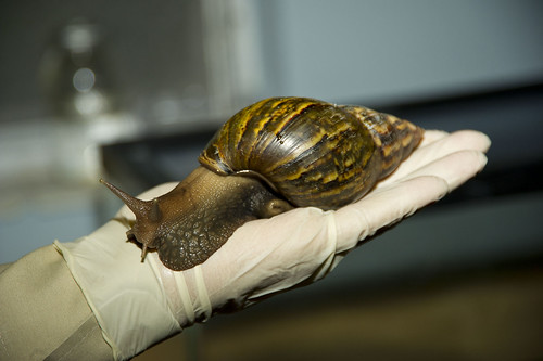 Giant African snails can reach up to 8 inches in length and nearly 5 inches in diameter—about the size of an average adult fist—and can live up to nine years. In a typical year, mated adults lay about 1,200 eggs.