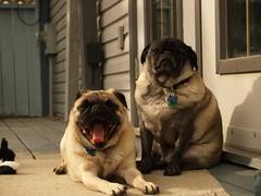 Pugs in the Sun