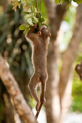monkey bangalore macaque nandihills bonnetmacaque canoneos1dmarkiii macacaradiata bangaloreoutskirts canonef100400mmf4556lusmis niranjvaidyanathan