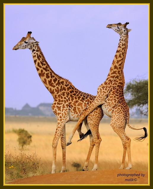 CAUGHT IN ACTION......NAIROBI NAT PARK. ..(SEPT 2011)......158