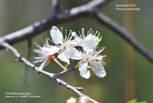 American Plum, Wild Plum - Prunus americana