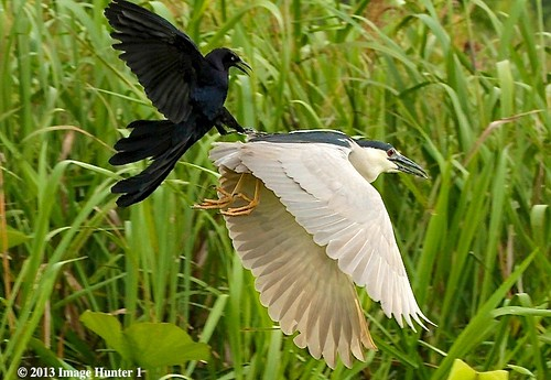 Great-tailed Grackle Attacking A Black-crowned Night Heron - Miller's Lake, Louisiana