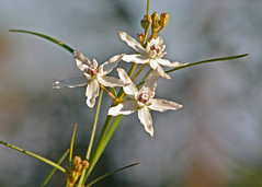 Florida Milkweed (Asclepias feayi)