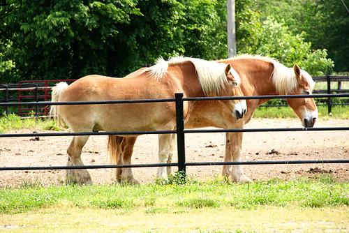 Horse_belgian-draft-horse