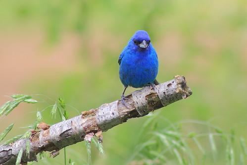 canon chicks bluebird 60d canonef75300f456usmiii