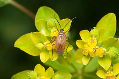 Brachycoleus pilicornis