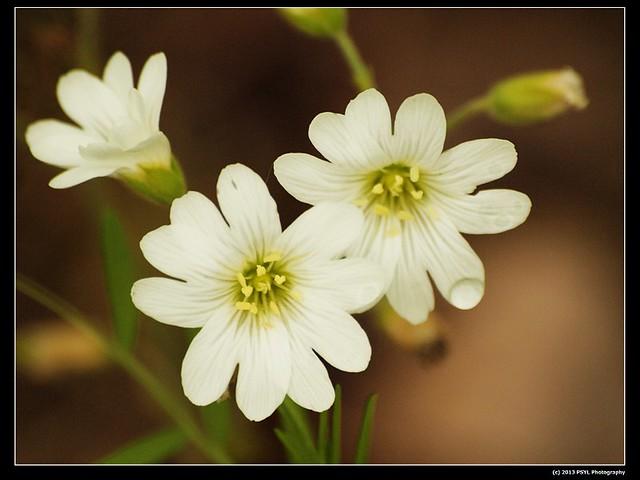 2013-06-02-P6022759-Field chickweed (Cerastium arvense)