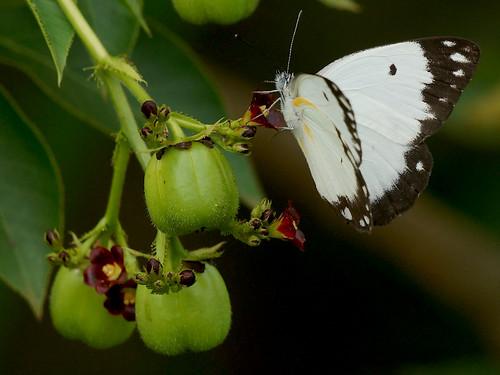 africa white black wing ghana tips greater accra buttterfly paulinuk99999 sal70400g belenoiscreona africancommonwhite dawhenya