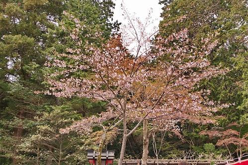 【写真】2013 桜 : 大原野神社/2021-01-15/IMGP0054