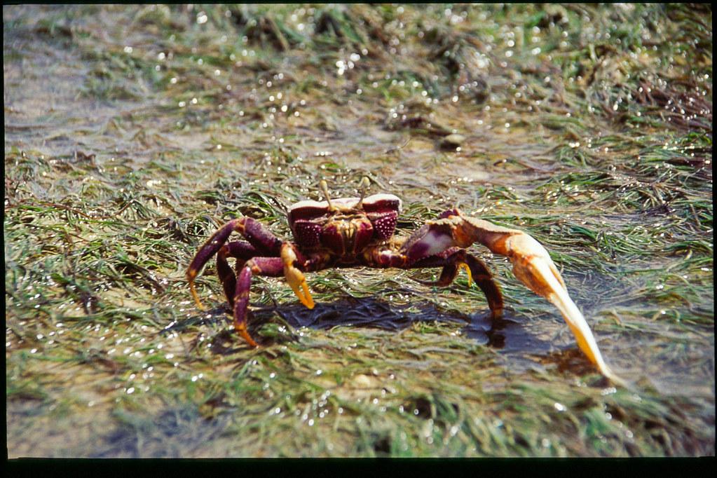 Mauritanie - Banc d'Arguin - Crabe violoniste