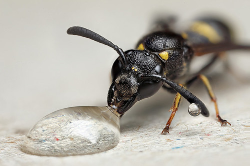 Potter wasp #3 by Lord V