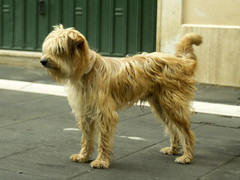 australian silky terrier(0.0), dandie dinmont terrier(0.0), australian terrier(0.0), dog breed(1.0), animal(1.0), dog(1.0), schnoodle(1.0), petit basset griffon vendã©en(1.0), pet(1.0), lã¶wchen(1.0), tibetan terrier(1.0), norfolk terrier(1.0), glen of imaal terrier(1.0), poodle crossbreed(1.0), norwich terrier(1.0), catalan sheepdog(1.0), sapsali(1.0), cairn terrier(1.0), irish soft-coated wheaten terrier(1.0), cockapoo(1.0), carnivoran(1.0), terrier(1.0),