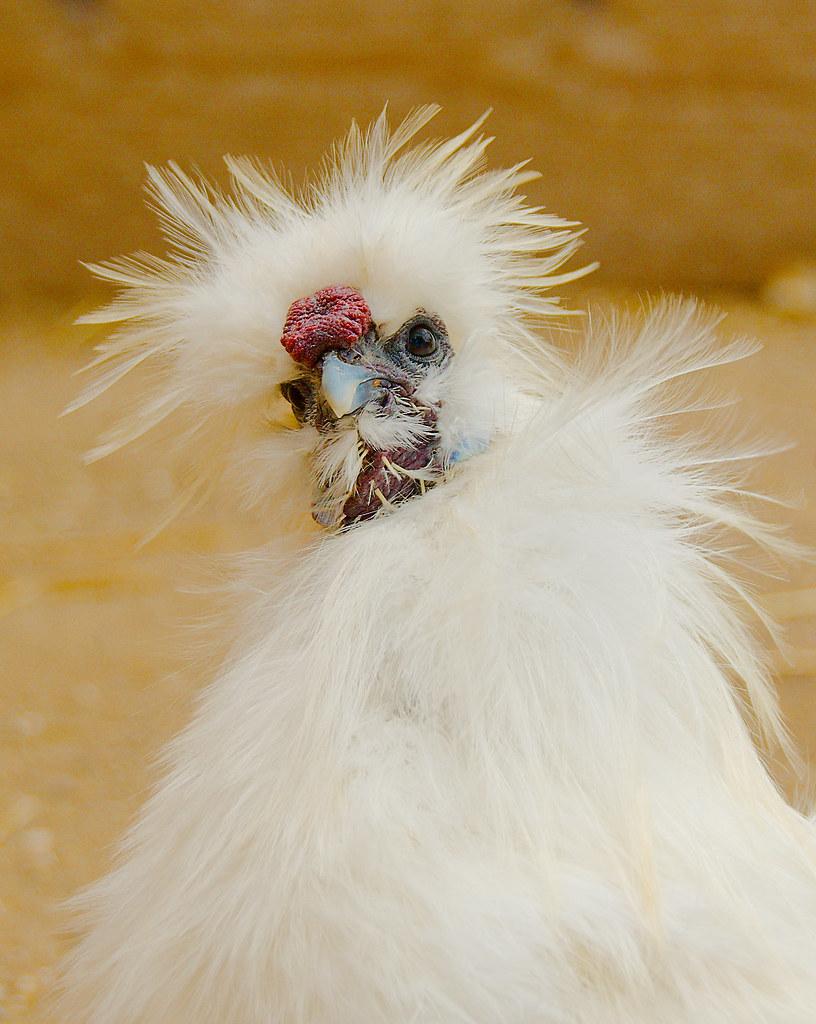 Chicken_7
