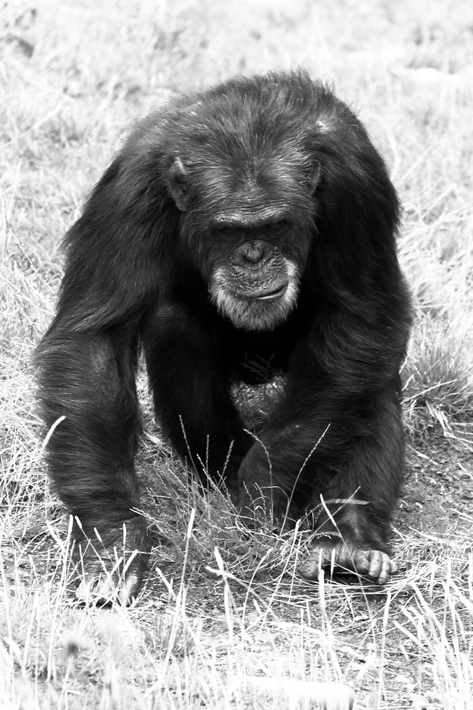 Edinburgh Zoo: Chimp