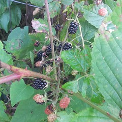blackberry, shrub, berry, leaf, red mulberry, fruit, dewberry, mulberry, bramble,