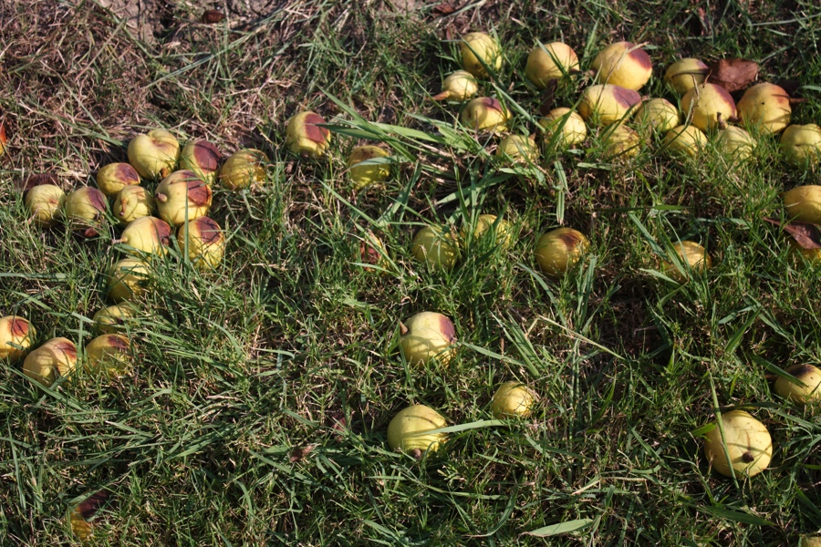pears on the ground