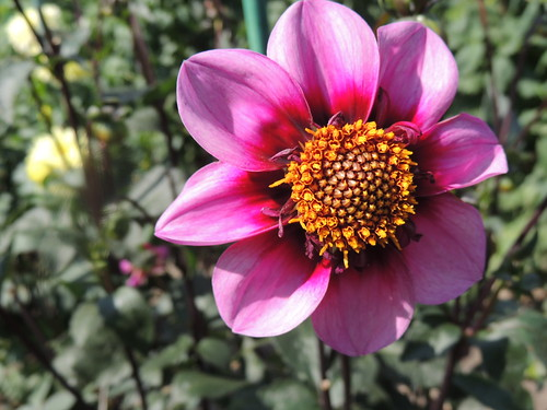 Dahlia 'Bee Happy'