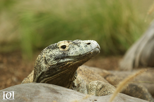 komodo dragon Komodo dragon: komodo dragon, largest living lizard species in the world and a native of a few indonesian islands.