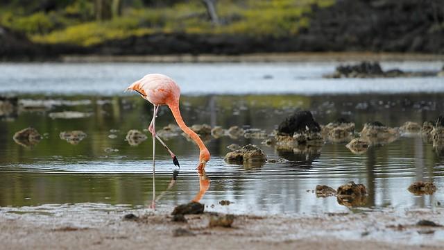 Flamenco en una laguna de agua salada. Islas Galápagos