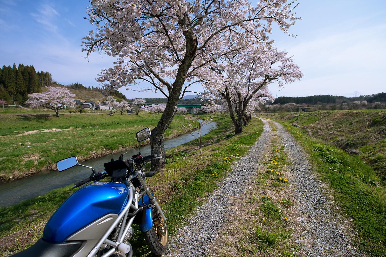 桜ツーリング 夏井千本桜~只見