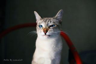 虎斑暹罗猫@豆芽