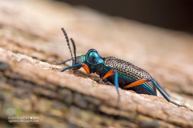 Darkling beetle (Tenebrionidae) - DSC_8756
