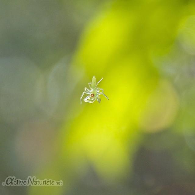 spider 0000 Gator Hook Trail, Big Cypress National Preserve, Florida, USA