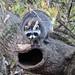 DSCN0507 raccoon by starc283