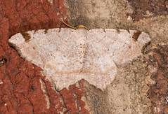 Red-headed Inchworm Moth