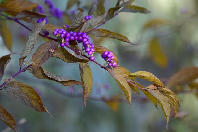 More purple berries, Nikon D7000, AF-S VR Micro-Nikkor 105mm f/2.8G IF-ED