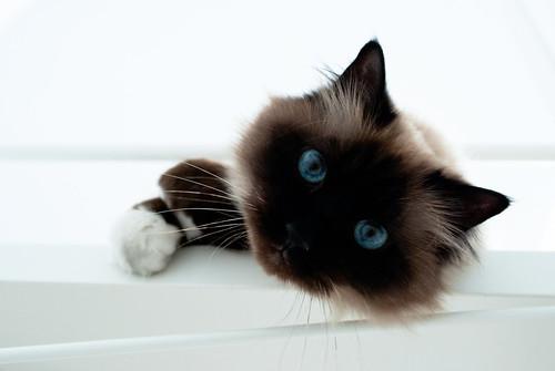 [フリー画像素材] 動物 1, 猫・ネコ, シャム (ネコ) ID:201204141000