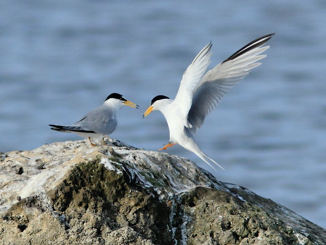 Least Terns 7-20120411