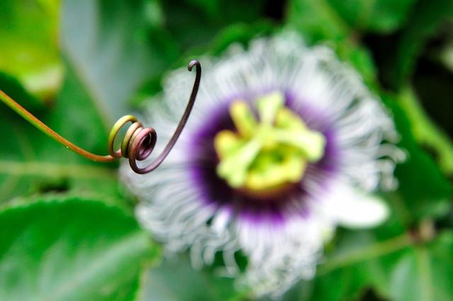 Granadilla Flower 百香果花