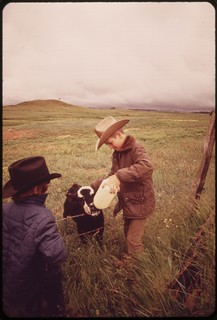Calf-feeding time at the Bud Redding ranch. The ranch is threatened by plans for massive strip-mining of the area, 06/1973.