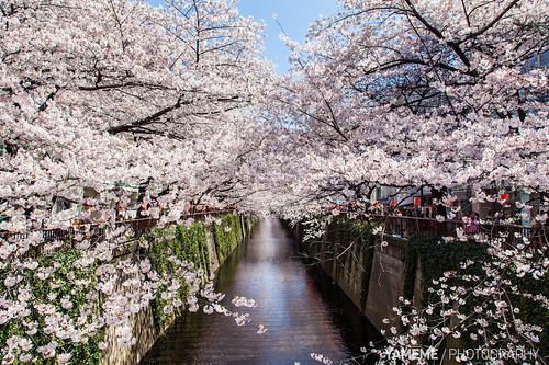 目黑川櫻並木 Meguro River / Tokyo, Japan by yameme