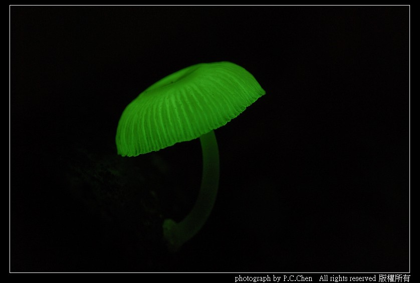 螢光蕈拍攝方法分享